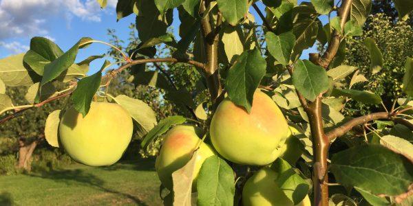 Äppelmustning, biogas av fallfrukt och biokol